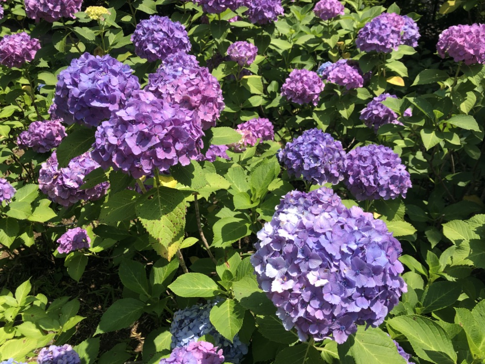 tamagawa, parc des hortensia