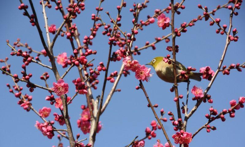 Les pruniers du Parc Hanegi , vivre a tokyo, visiter tokyo