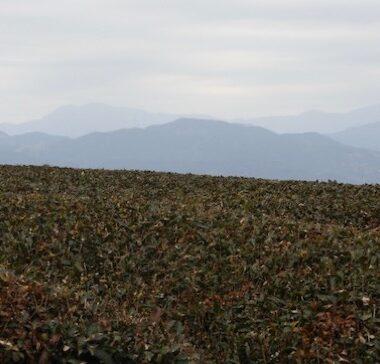Un champs de thé dans le Shizuoka, vivre à tokyo, français à tokyo