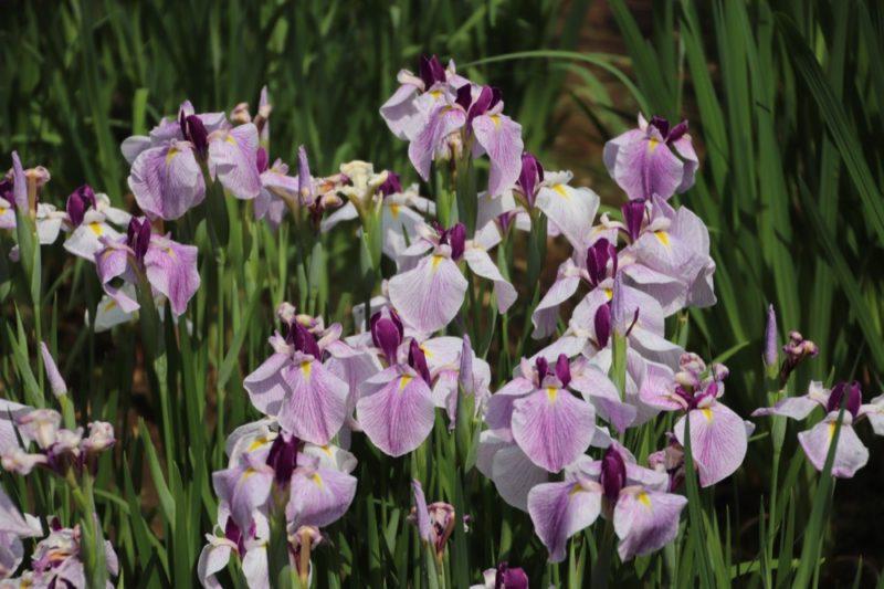 Les iris du jardin de l'impératrice - Meiji Jingu, vivre à tokyo, expatriation à tokyo, visiter tokyo