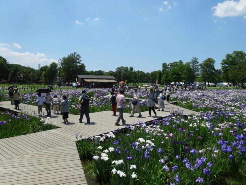 mizumoto-koen - jardin des iris-copyright-helene-aux-pays-des-sakuras