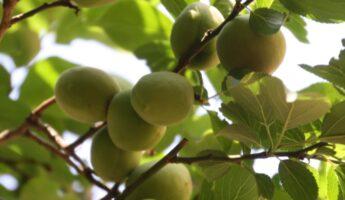 Les prunes vertes pour l'umeshu à Tokyo