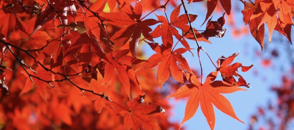 les feuilles d'érables rouges du parec Rikugien, Visiter Tokyo et le Japon