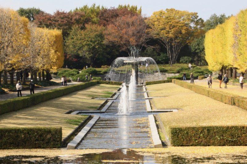 Les gingko biloba du parc Tachikawa, Visiter Tokyo et le Japon