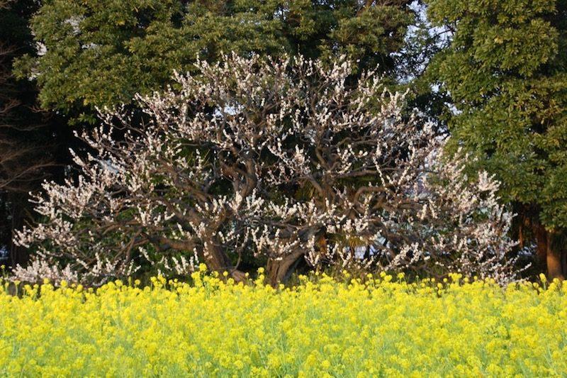 Le jardin Hamarikyu et ses pruniers, Visiter Tokyo