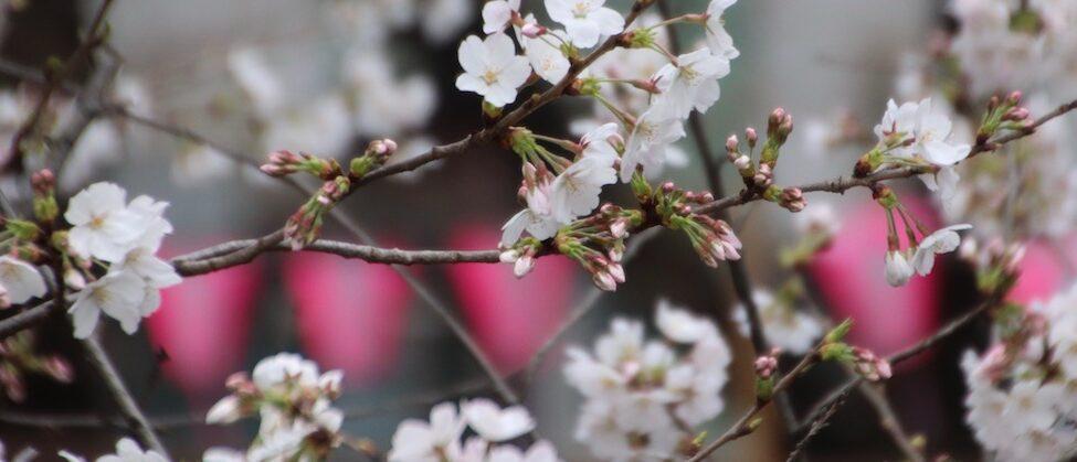 La saison des cerisiers en fleurs à Tokyo, expatriation à Tokyo, visiter Tokyo et le Japon