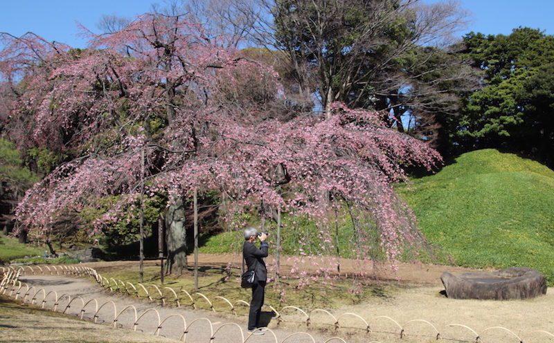 Un cerisier pleureur au jardin Koishikawa Korakoen, expatriation à tokyo, saison à tokyo