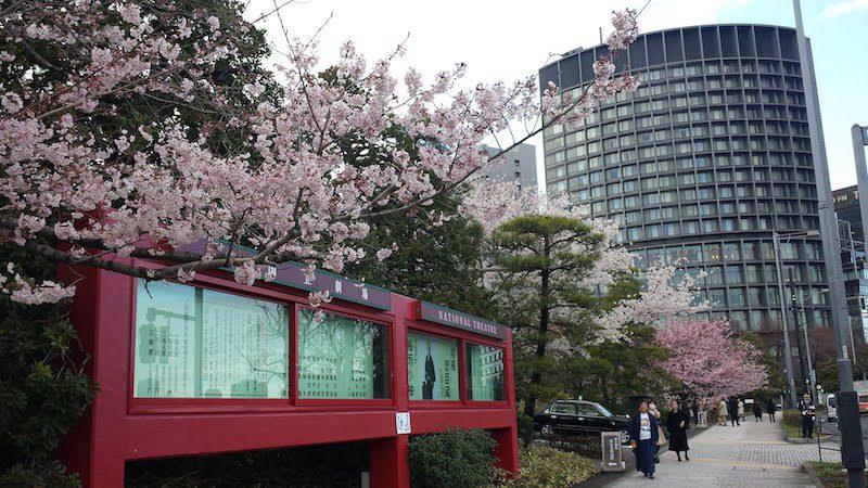 Les cerisiers en fleurs devant le Théâtre National, visiter Tokyo et le Japon