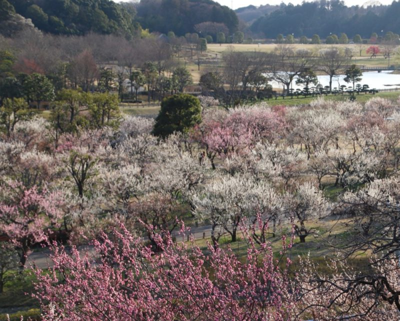 Vue sur le jardin Kairakuen pendant la saison des prunier en fleurs , visiter Tokyo et le Japon, expatriation à tokyo, vivre à tokyo