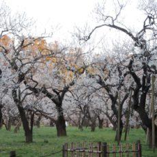 Le jardin de prunier du Kairakuen à Mito, viditer tokyo et le japon, vivre à tokyo