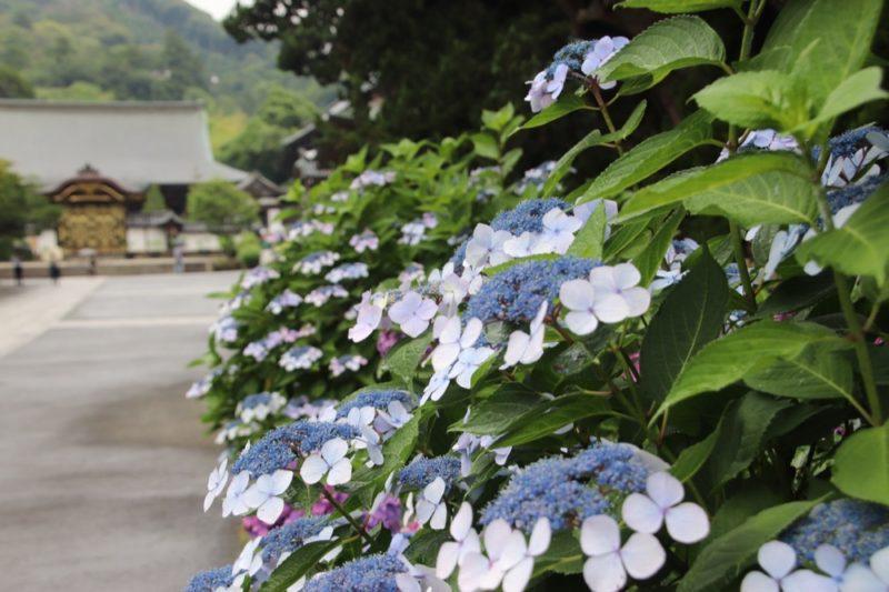 Les hortensias au temple Kenchoji, vivre à tokyo, expatriation à tokyo, visiter kamakura