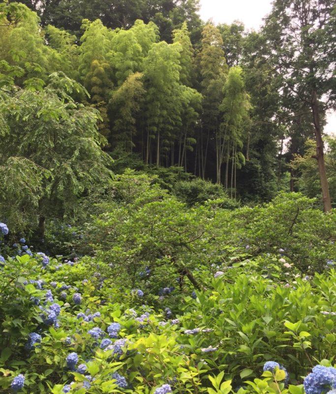 Les hortensias de Kamakura, visiter kamakura, expatriation à tokyo, vivre à tokyo