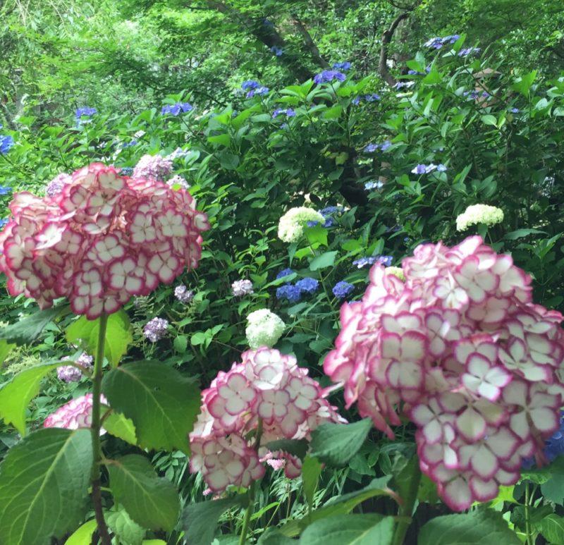 hortensia, vivre à tokyo, expatriation à tokyo, visiter kamakura