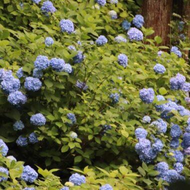 Les hortensias du temple Meigetsuin de Kamakura, vivre à tokyo, visiter kamakura, expatriation à tokyo