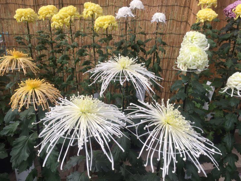 Sanctuaire Meiji Jingu et les chrysanthèmes, vivre a tokyo, vivre a tokyo, expatriation a tokyo