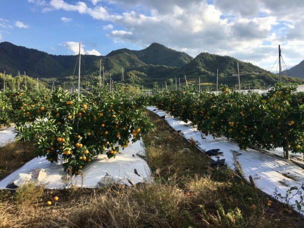 Champs de mandarine, vélo au japon, shimanami kaido, visiter le japon