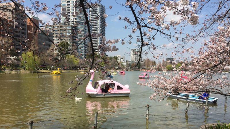 cerisiers en fleurs, sakura à ueno , vivre a tokyo, visiter tokyo