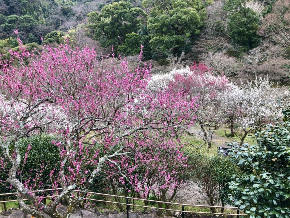 atami, pruniers, vivre a tokyo