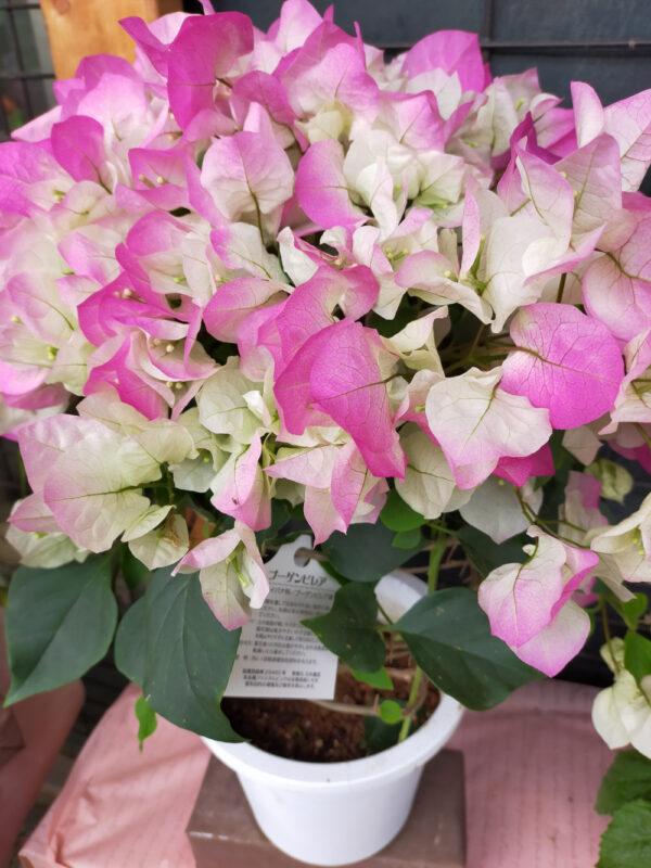Bougainvillier dans la jardinerie Shibuya Engei de Nerima
