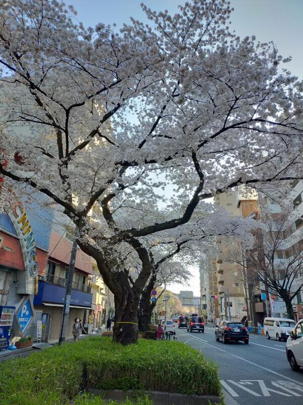 Sakura au lever du soleil