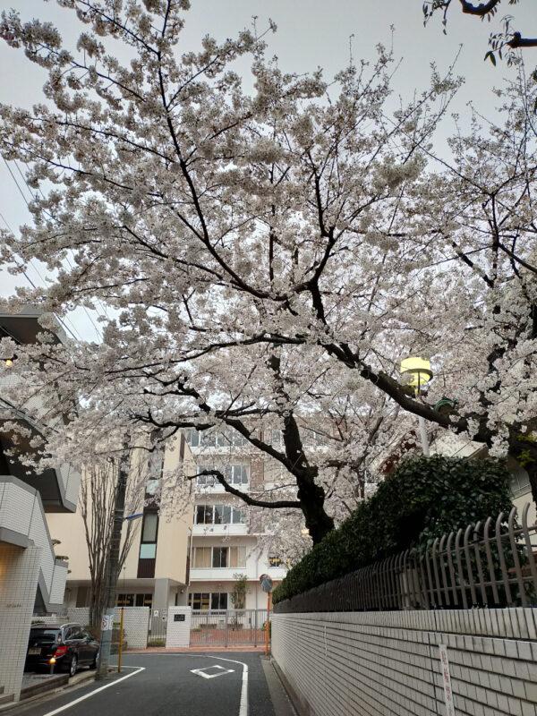 Sakura du lycée