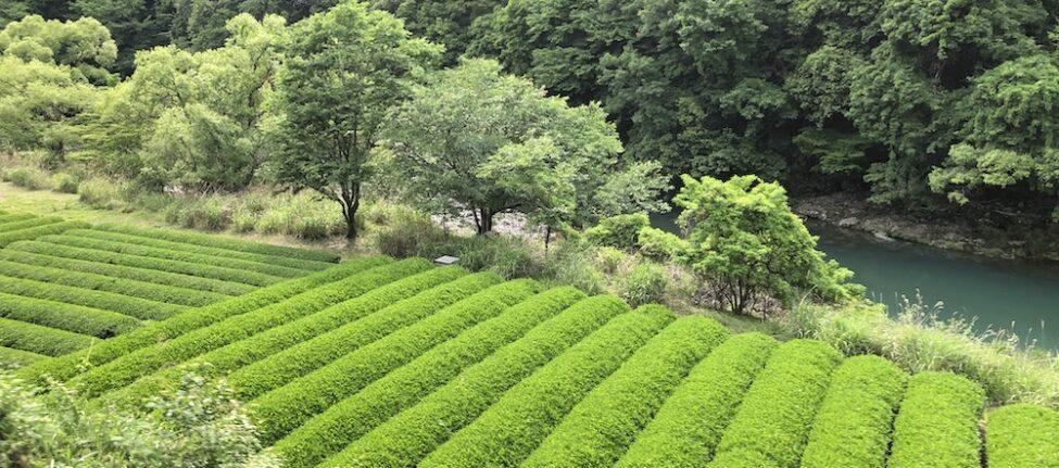 thé, shizuoka