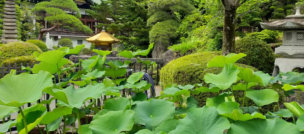 lotus du temple Jôrenji