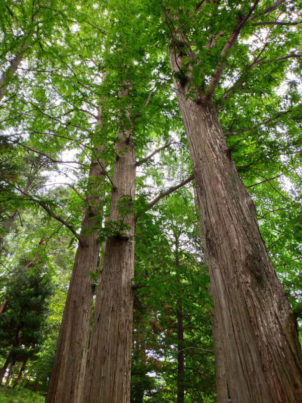 grands arbres du jardin botanique d'Akatsuka, Itabashi