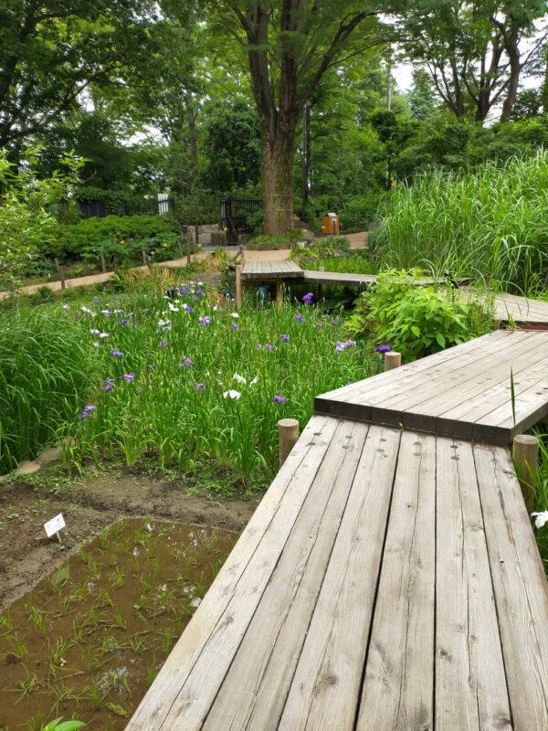 iris et riz au jardin botanique d'Akatsuka, Itabashi