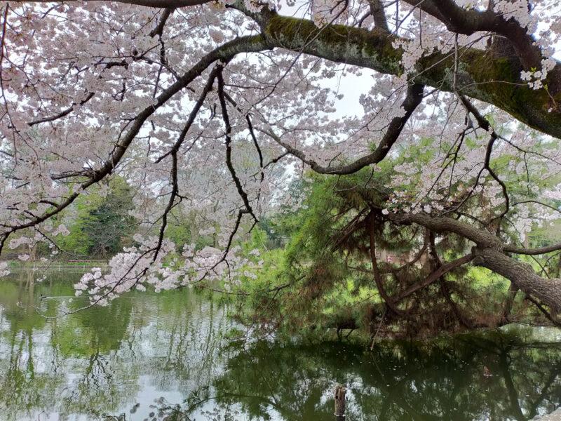 Sakura à Shakuji Koen