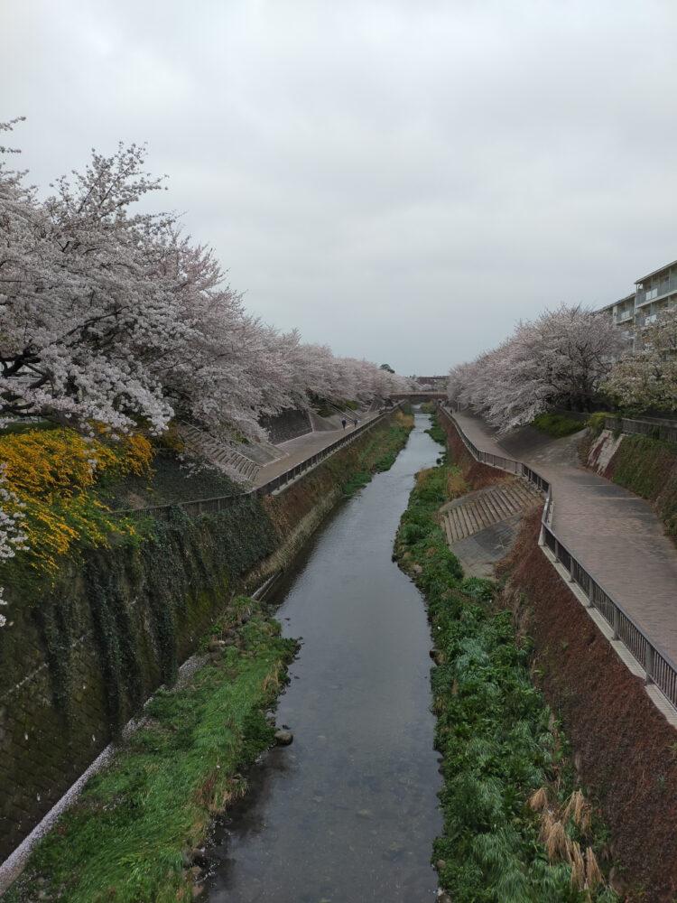Shakuji River et ses sakura, vivre à tokyo